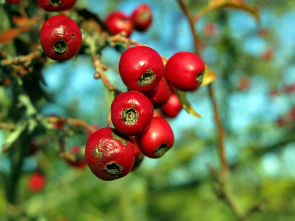 Frutos rojizos del espino silvestre. Autora, Jacinta Lluch Valero