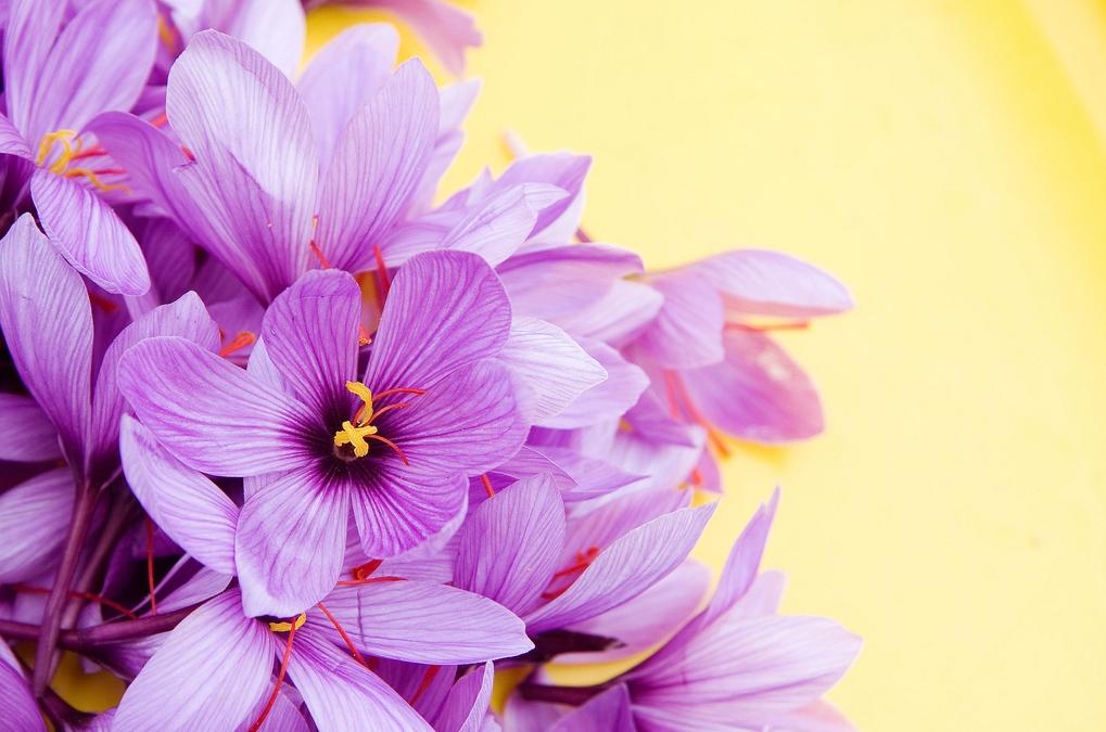 Flor de azafrán. Autora, Soledad Garcia Salas