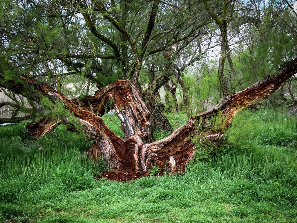 Taray del Parque Nacional de las Tablas de Daimiel