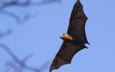 Ver con los oídos. La increíble habilidad de los murciélagos.