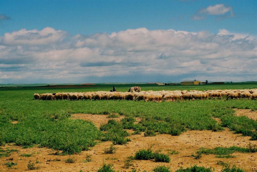 11.-Ovejas-y-campos-de-Castilla.-Autor-Juanri.naf_-1024x685