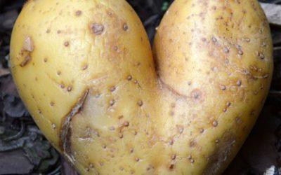 A la rica patata de Burgos. La historia del tubérculo maldito.