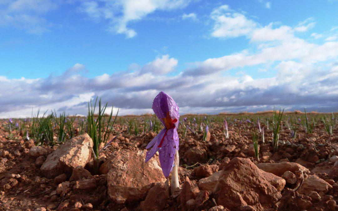 Entre flores de azafrán. La Solana y su Festival de la Zarzuela