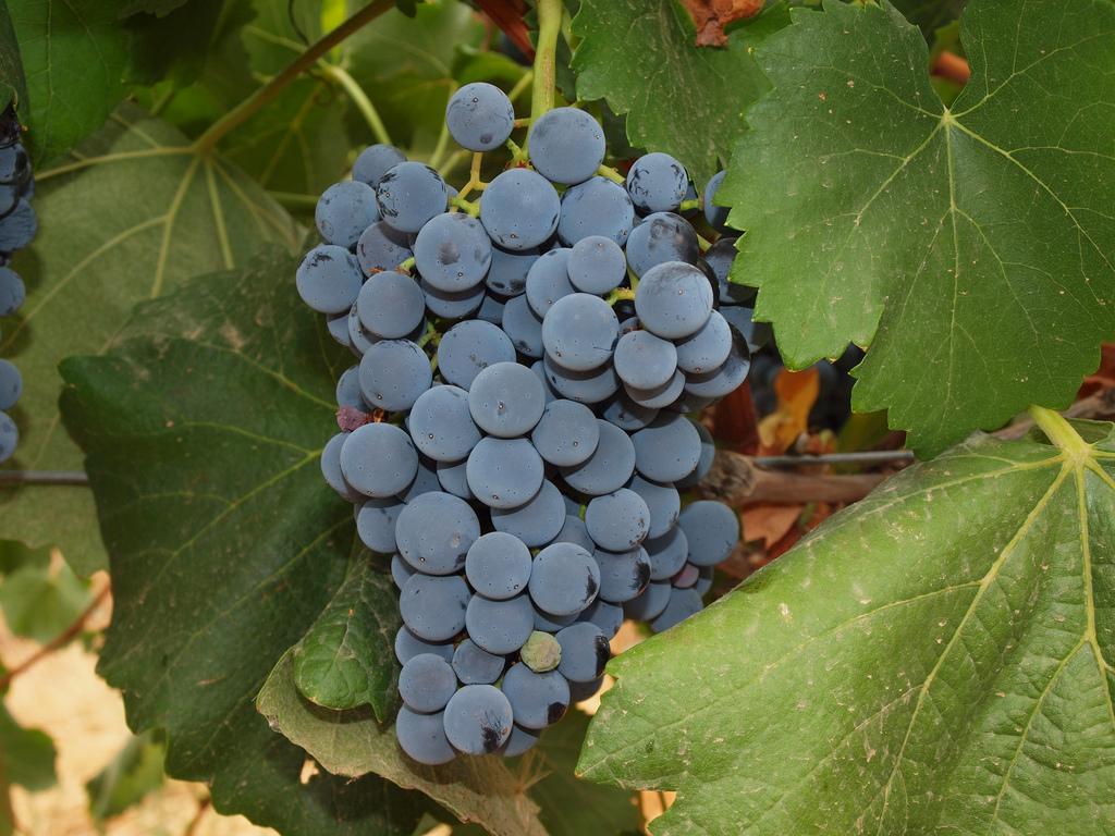 Racimo de uva en La Mancha. Autor, Cagiga