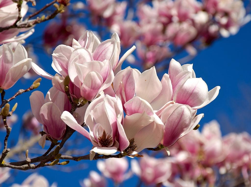 magnolio en flor jardines Aranjuez