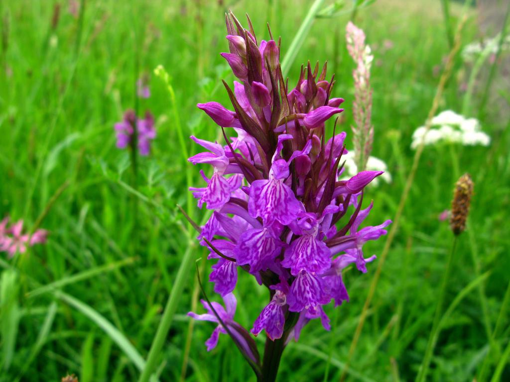 Orquídea silvestre de Babia