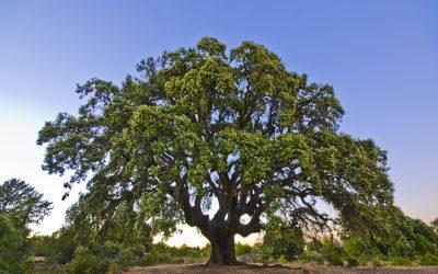 Si Quercus Ilex hablara…