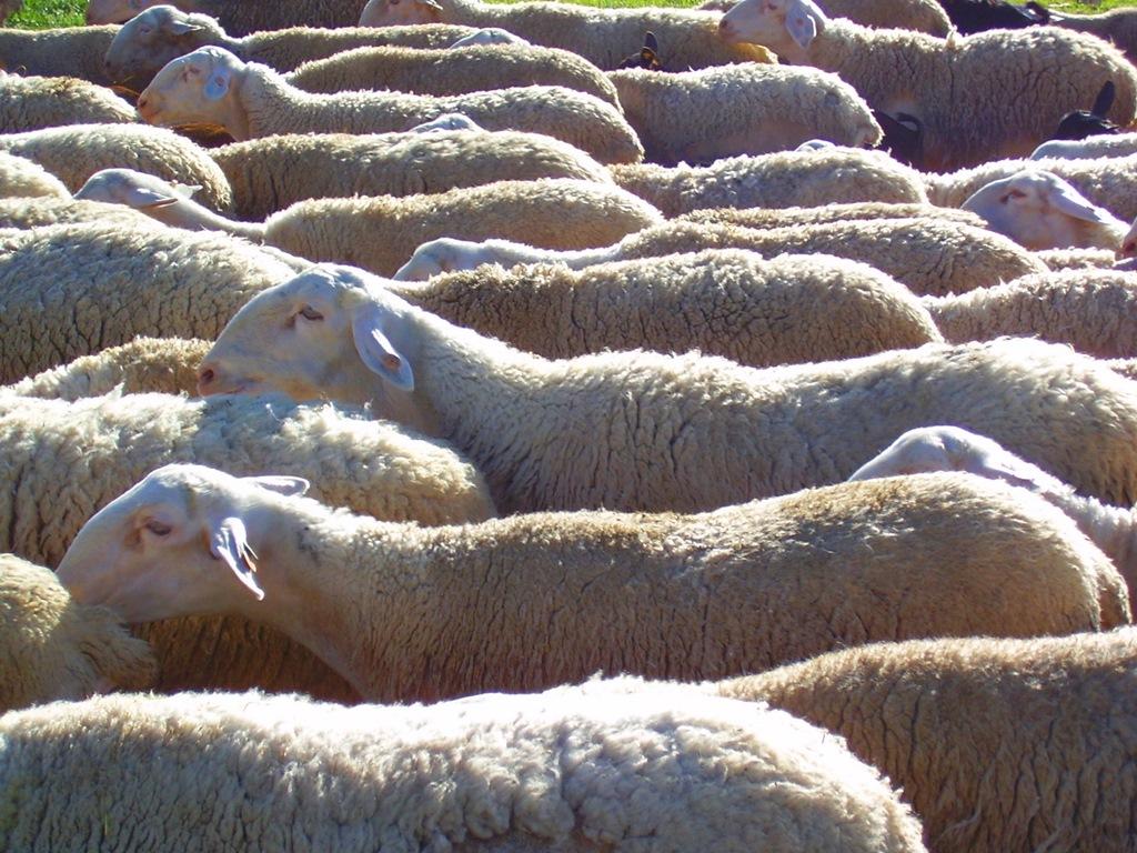 Rebaño de ovejas. Autor, Boris Bartels