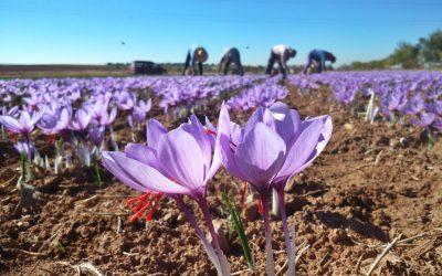 Ruta del azafrán de La Mancha