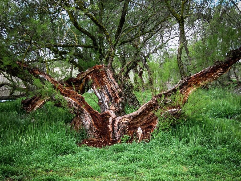 taray-en-el-parque-nacional-de-las-tablas-de-daimiel-autora-virginia-segui