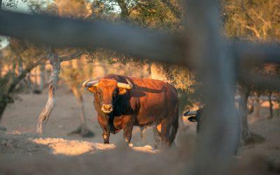 Curiosidades sobre el toro bravo