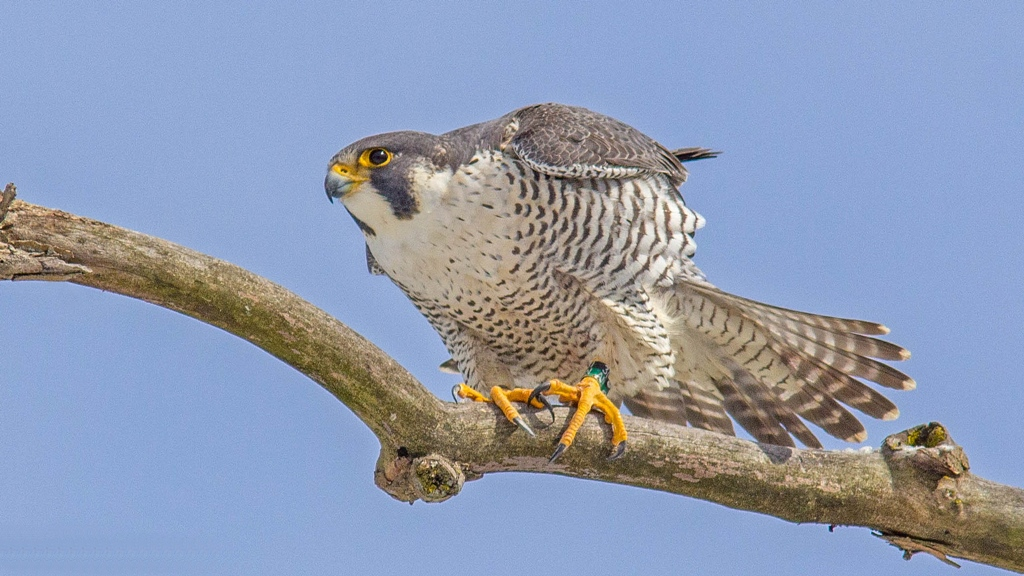 Halcón Peregrino birding La Mancha
