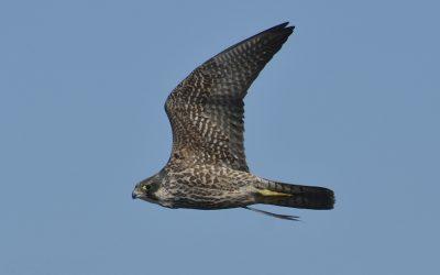 El halcón peregrino o el animal más veloz de la Tierra