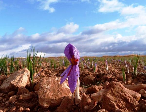 Flor de azafrán de La Mancha
