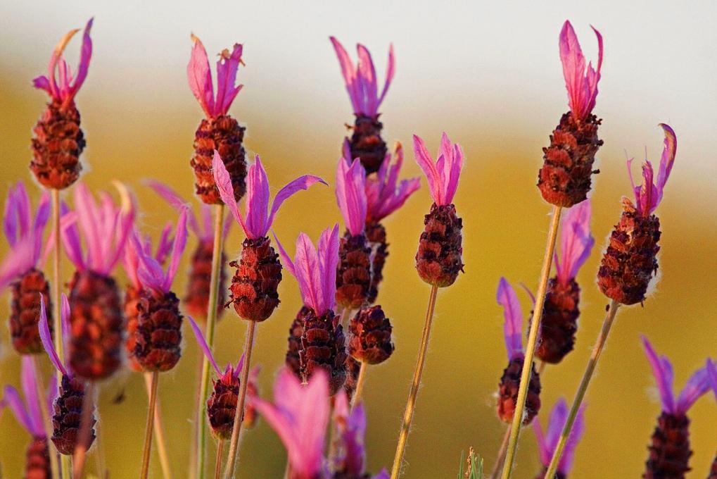 Cantueso, flora de la Cimbarra