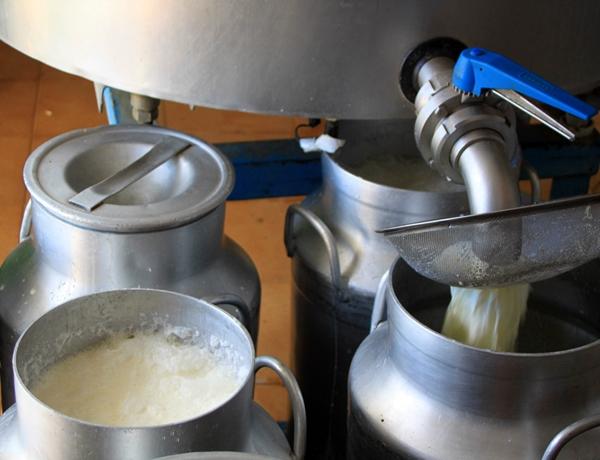 Leche de oveja para queso manchego, lacteoturismo con Sabersabor.es