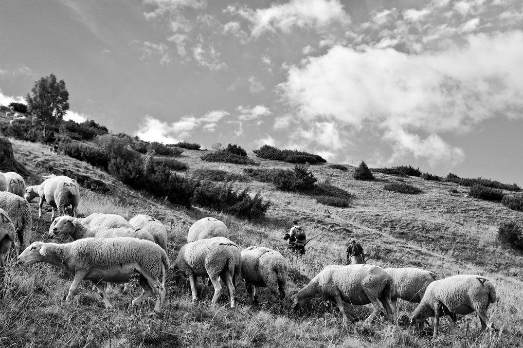 rebaño de ovejas La Mancha